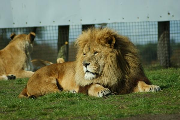 Лев из Safari Park