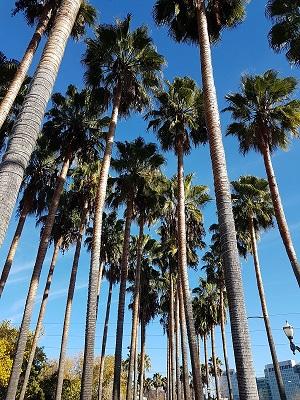 Пальмы в Сан Хосе